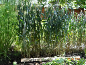 Озимая  гмо  пшеница   Хьюстон   элита