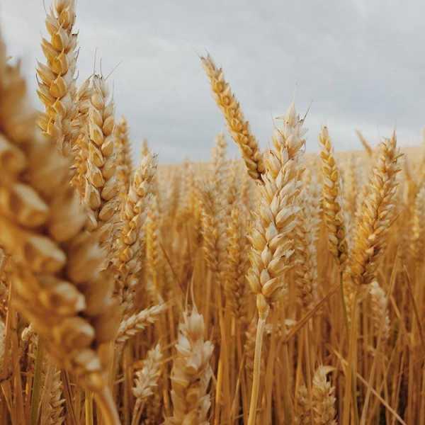 Мягкая  озимая  пшеница  TOMASO  элита  , без  гмо .